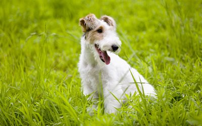 Fox Terrier, 4k, lawn, cute animals, dogs, green grass, pets, Fox Terrier Dog