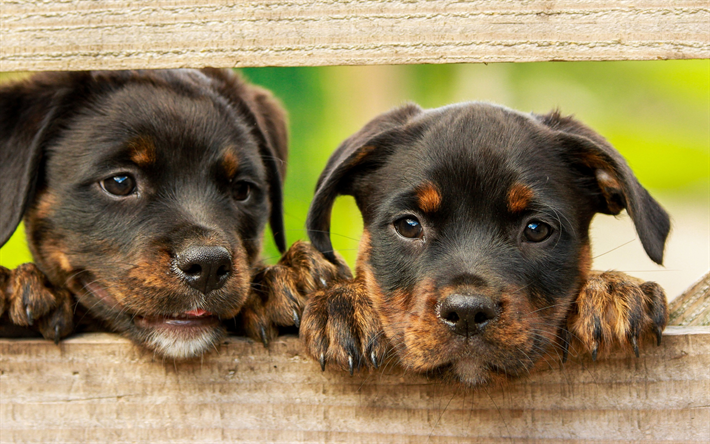 Rottweiler, cute puppies, small dogs, pets, cute little animals, two puppies, fence