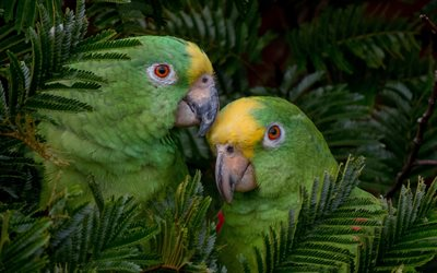 Yellow-crowned amazon, green parrots, beautiful green birds, Panama, South America, yellow-crowned parrot