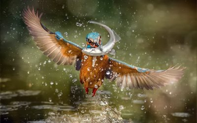 Kingfisher, fishing, close-up, wildlife, Alcedinidae