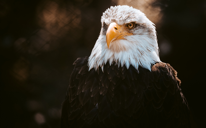 bald eagle, evening, sunset, bird of prey, eagles, symbol of USA, North America, USA