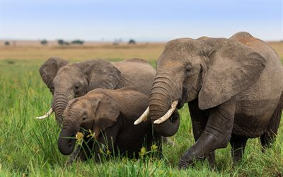 Elephants, family, African animals, savannah, Africa, elephant
