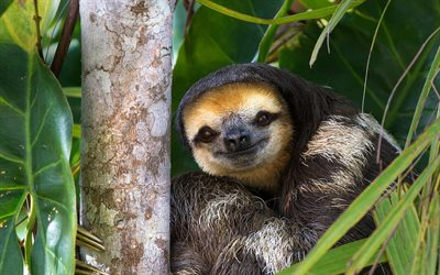 sloth, jungle, wildlife, mammals, Folivora, sloth on tree, funny animals