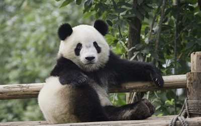 panda, bears, cute animals, zoo, funny animals