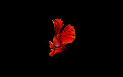 gold fish, black background, minimsl, goldfish