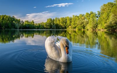 white swan, summer, lake, white bird, swans, Cygnini