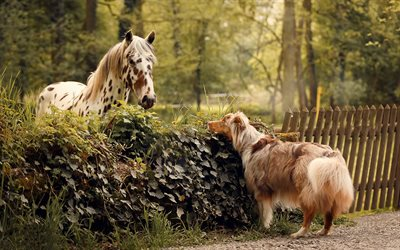 Australian Shepherd, horse, farm, friendship concepts, aussie, dog