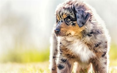 Australian Shepherd, Aussie, puppy, close-up, pets, dogs, Australian Shepherd Dog, Aussie Dog