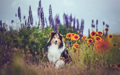 Collie, big fluffy dog, shepherd dog, cute animals, field, flowers, pets, dogs