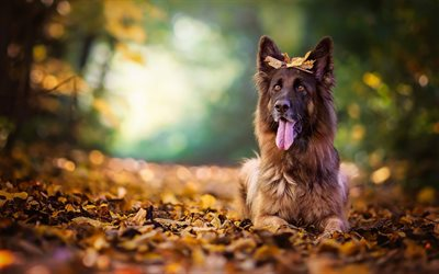 German Shepherd, autumn, pets, bokeh, forest, cute animals, dogs, German Shepherd Dog