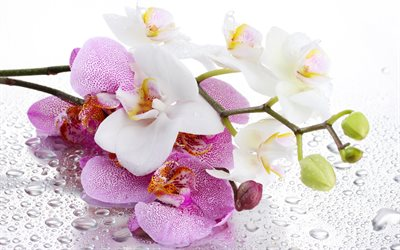 Pink orchids, white orchid, tropical flowers, orchids