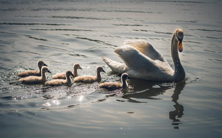 little swans, swan family, lake, beautiful birds, Young swans, swans