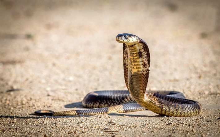 Download wallpapers cobra, desert, dangerous snake, snakes ...
