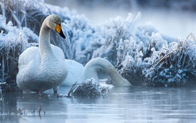 white swans, winter, lake, wildlife, swans