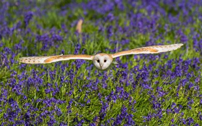 Barn Owl, wildilfe, Church Owl, Tyto alba
