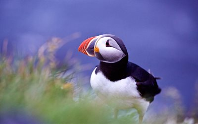 Atlantic puffin, wildlife, puffin, Fratercula arctica, Iceland