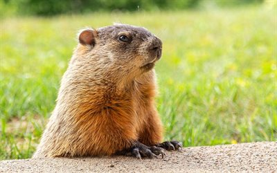Groundhog Day, February 2, Groundhog in the grass, woodchuck, Happy Groundhog Day, Groundhog, USA