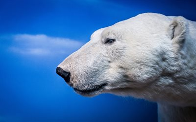 polar bear, blue background, predator, bears, Antarctica, wild animals
