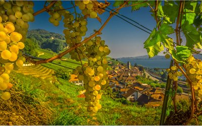 white grapes, evening, vineyard, grape harvest, grapes bunch, mountains, Switzerland, Alps
