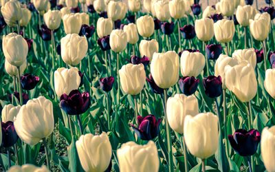 white tulips, burgundy tulips, wildflowers, field with tulips, background with tulips