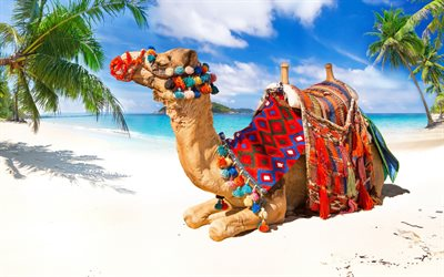 camel, beach, tropical islands, summer, sea, sand, travel concepts