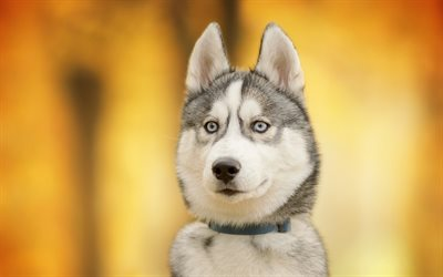 husky, friendly dog, cute animals, dogs, dog year concepts
