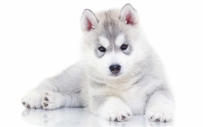 4k, husky, puppies, dogs, small husky, cute animals, Siberian Husky