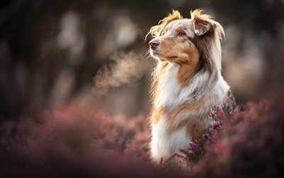 Brown Aussie, bokeh, autumn, Australian Shepherd, pets, dogs, lavender, cute animals, Aussie, Australian Shepherd Dog, Aussie Dogs