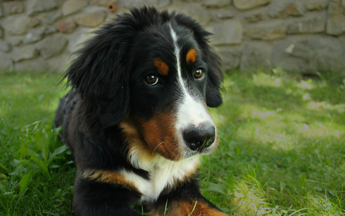 Download Wallpapers 4k Appenzeller Sennenhund Muzzle Cute