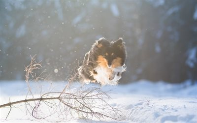 Shetland Shepherd Dog, Sheltie, jumping dog, winter, snow, flying dog, pets