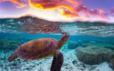 turtle, underwater world, evening, sunset, ocean, coral reef, water