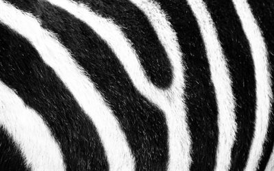 zebra texture, macro, white black background, zebra skin texture, black white stripes, zebra background, zebra wool, striped skin