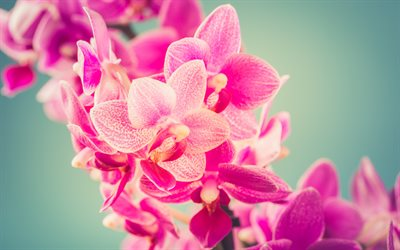 pink orchid, orchid branch, beautiful pink flowers, orchid, background with orchids