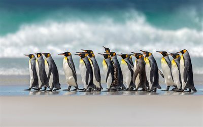 Pinguim-rei, Oceano Atlântico, Pinguins, costa, bando de pinguins, ondas, América Do Sul