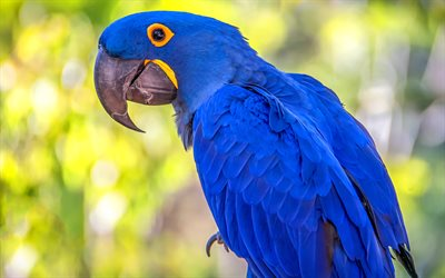 Hyacinth macaw, HDR, blue parrots, wildlife, macaw, Anodorhynchus hyacinthinus, parrots