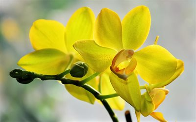 yellow orchids, yellow tropical flowers, orchids, orchid branch, background with yellow orchids