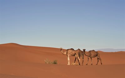Camels, wildlife, desert, dunes, sunset, evening, Africa, wild animals