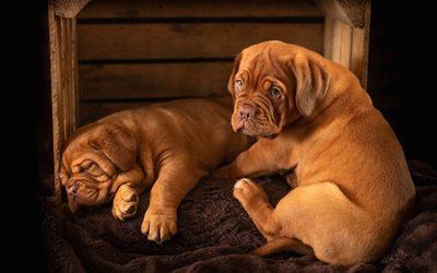Dogue de Bordeaux, twins, pets, Bordeaux mastiff, puppies, French mastiff, Bordeauxdog, dogs, cute animals
