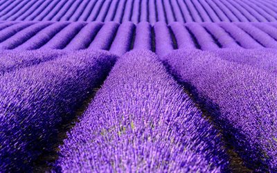 lavender field, purple flowers, lavender, flower field, Netherlands