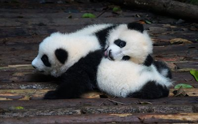 little pandas, cute animals, teddy bears, pandas, wildlife, pandas cubs