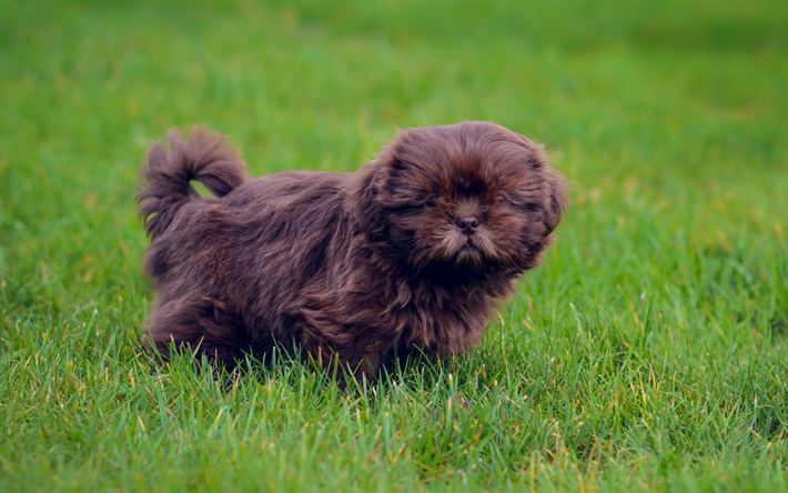 Download Fluffy Brown Adorable Dog - thumb2-brown-fluffy-puppy-little-cute-dog-pets-dogs-green-grass  Best Photo Reference_148047  .jpg
