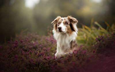 Australian Shepherd Dog, White Brown Dog, Pets, Flowers, Aussie