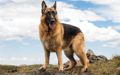 German Shepherd Dog, 4K, large dog, domestic dog