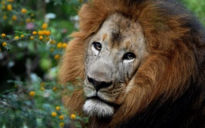 lion, Africa, predator, wildlife, safari, big lion