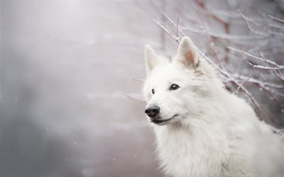 Berger Blanc Suisse, white fluffy dog, White Swiss Shepherd, snow, winter