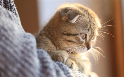 Scottish Fold cat, little kitten, cute animals, little cats, pets