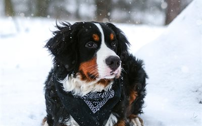 Bernese Mountain Dog, 4k, pets, winter, cute animals, dogs, Berner Sennenhund