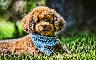 Toy Poodle, close-up, curly dog, rose, pets, dogs, funny dog, poodle