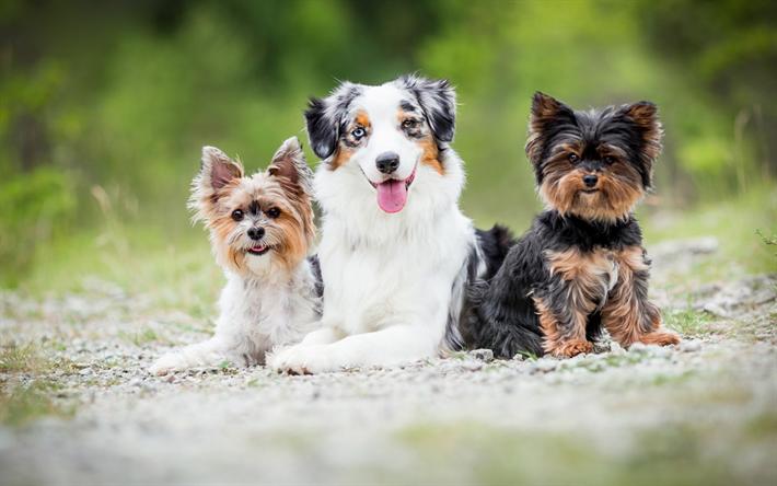 Telecharger Fonds D Ecran Le Yorkshire Terrier Berger