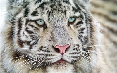 white tiger, blue eyes, Bengal tiger, predator, tigers, wildlife, dangerous animals